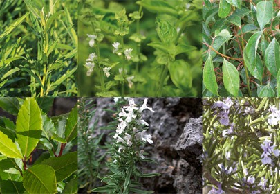 Genotoxicity of Some Essential Oils Frequently Used in Aromatherapy
